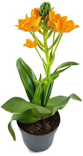 Fangblatt - Ornithogalum dubium - orangener Milchstern - ein bezauberndes Zwiebelgewächs aus Südafrika mit strahlenden Blüten - pflegeleichte Zimmerpflanze