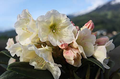 Rhododendron Hybride 'Golden Melodie' INKARHO - Im 4 lt. Topf, Höhe ca. 25-30cm