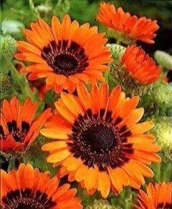 SONNENBLUME 50 Samen, Orange ASTER, Venidium fastuosum (Daisy Cape Orange) Daisy Und Sonnenblume