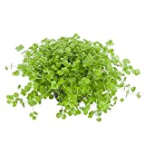Tropica Aquarium Pflanze Micranthemum umbrosum Wasserpflanzen Aquariumpflanzen