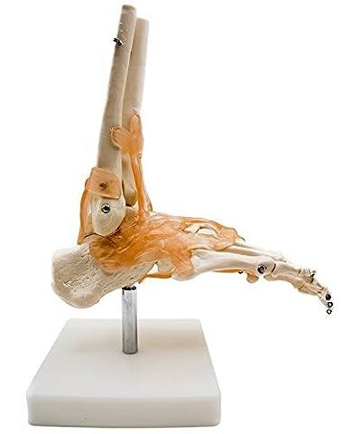 Rancross- Pied Modèle Squelette Anatomique Articulaire et Ligamentaire - Anatomie Médicale