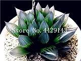 IDEA HIGH Seeds-200 Pcs/Lot Bonsai Büro Schreibtisch Blumen Yulu Pseudotruncatella Stein Viva Lithops Sweatshirts Bonsai Anti-Strahlung Luftreinigung: 10