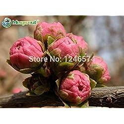 Fash Lady 10 STÜCKE Prunus triloba samen, Rehmannia glutinosa, topfpflanzen, Blühende Pflaumenbaum Blumensamen, blühende Pflanzen