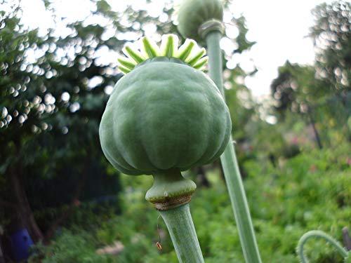ente Samen von echter Schlafmohn - Papaver somniferum - Blaumohn Schlafmohnsamen poppy seed ()
