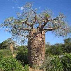Adansonia fony (Baobab) - 5 Graines