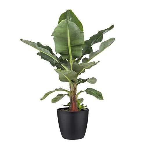 Botanicly Zimmerpflanze - Exotische Bananenpflanze - Obstbaum mit schwarzem Übertopf- Höhe: 80 cm - Musa Dwarf cavendish