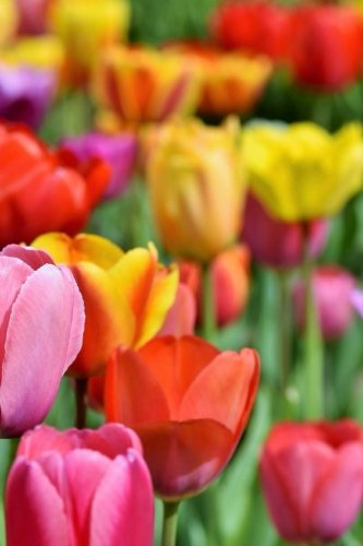 Tulips Notebook -