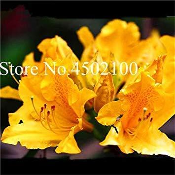 VISA STORE 100 Stück Exotische AZEA Bonsai, Misch Rhododendron AZEA, AZEA Bonsai Samen DIY Seedssseed für Hausgarten: 2