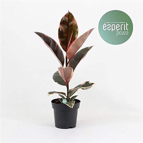 Gummibaum Ficus elastica Belize 30 cm Farbenfroher Blattschmuck Zimmerpflanze