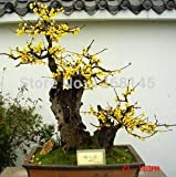 20pcs/lot Chinese Flower Wintersweet Seed Fragrant yellow Chimonanthus Praecox bonsai plant seeds home garden free shipping