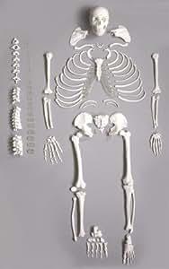 VKSI Human Disarticulated skeleton Model