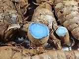 #7: Fresh Kali Haldi Black Turmeric Curcuma Caesia Krishna kedar with Sprout Black Turmeric Rhizomes beautiful Blue Black Color 3 Pcs