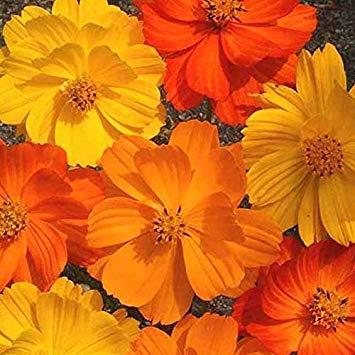 Zoomy Far: COOS BRIGHT luce mista semi di fiori (AVG 30-50) SEMI X 5 PACCHETTO
