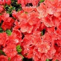 Japanische Azalee 'Satschiko'®/Rhododendron obt.