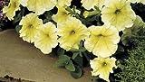 Petunie grandiflora Prism Sunshine - Hängepetunie - Petunia - 10 Samen