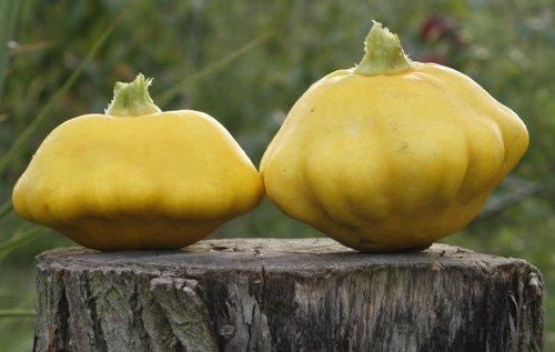 seekay-summer-squash-f1-sunbeam-10-seeds