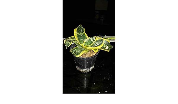 kann nicht so gro/Ã/Ÿ wie Twister Schwester by Farmerly 2 Pot Sansevieria trifasciata TWISTER TSUNAMI