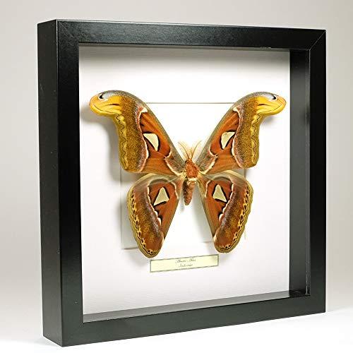 De Museumwinkel.com Attacus Atlas - Atlasspinner - Echter präparierter Schmetterling montiert unter Glas in handgefertigten schwarzen Holzrahmen