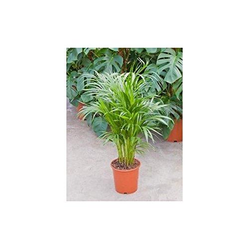 plante-dinterieur-plante-pour-la-maison-ou-le-bureau-chrysalidocarpus-lutescens-palmier-areca-palmis