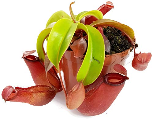 Kannenpflanze Dekorativ