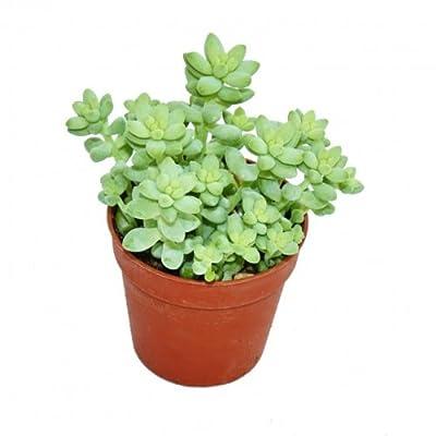 Sedum morganianum burritum - Affenschaukel - 5,5cm Topf