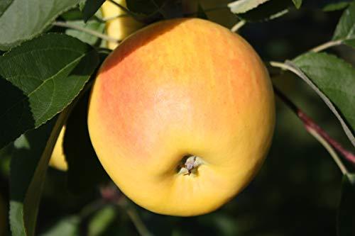 OBI Meist angebaute Sorte