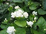 Jasmin Blumensamen 50pcs / pack weiße Jasminsamen, duftende Pflanze arabische Jasmin Samen