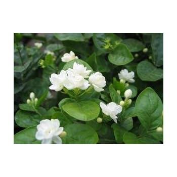 Jasmin Blumensamen 50pcs / pack weiße Jasminsamen, duftende Pflanze ...