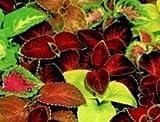 """Just Seed Buntnessel """"Super-Rainbow""""-Mischung, Blumen, 500 Samen"""