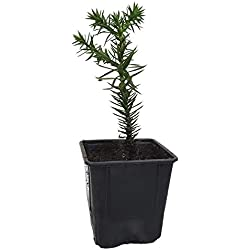 Seedeo® Chilenische Andentanne Araucaria araucana Pflanze 2,5 Jahre alt ca. 20-30 cm hoch