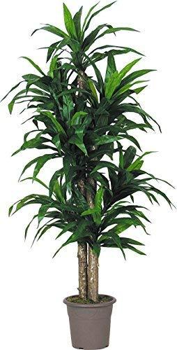 Dracena verde - albero artificiale da arredo interno con tronchi veri - alto 150 cm