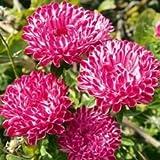 PinkdosePinkdose Blumensamen: Aster-Ducess Formula Mixed Gartenhecke (11 Packete) Gartenpflanzensamen von