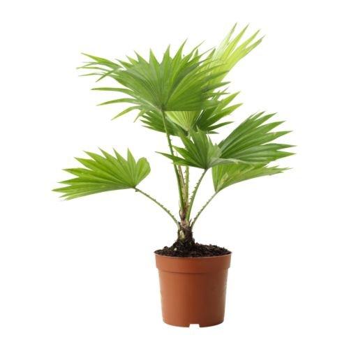 IKEA LIVISTONA ROTUNDIFOLIA -Topfpflanze Hocker Palme - 12 cm