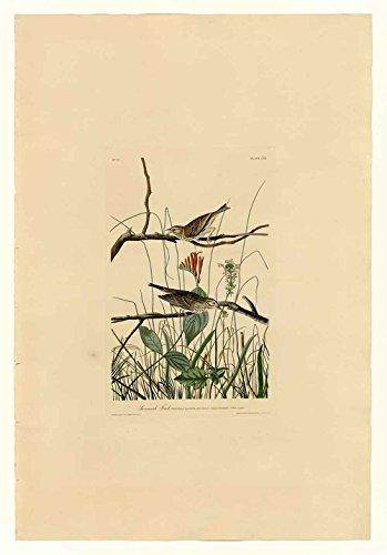 Das Museum Outlet-Audubon (- Savannah Finch-Teller 109, gespannte Leinwand Galerie verpackt. 29,7x 41,9cm