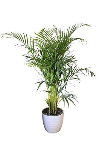 Areca dypsis lutescens Altura: 35 cm Plantas de interior de Botanicly 3 /× Palma Areca