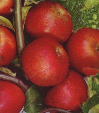 Apfelbaum Roter Boskoop Apfel Roter Boskoop - Malus Roter Boskoop Containerware / 120-160 cm hoch,