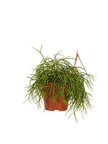 rhipsalis | pianta grassa | pianta d'appartamento | altezza 20 cm | pot 12 cm | facilità di manutenzione
