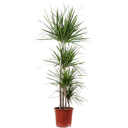 Gerandeter Drachenbaum 4er Tuff: 90-60-30-15 cm - Dracaena marginata - Höhe ca. 155 cm, Topf-Ø 27 cm