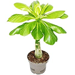 Hawaii-Palme - Zimmerpalme - Brighamia insignis 30-40 cm hoch