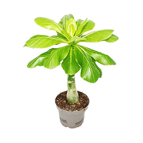 Hawaii-Palme - Zimmerpalme - Brighamia insignis 30-40 cm hoch