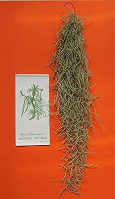 Tillandsia usneoides, Tillandsien von Allterra bei Du und dein Garten