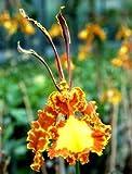 1 blühfähige Orchidee der Sorte: Psychopsis