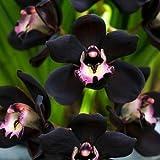 100 nero unico Cymbidium Faberi giardino di fiori Semi piante da fiore semi del fiore dell'orchidea