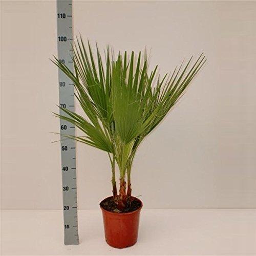 Blumen-Senf washingtonia robusta 90-100 cm Arecaceae Palme palmen filifera