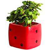 Rolling Nature Good Luck Jade Plant In Red Dice Ceramic Pot