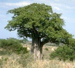 Affenbrotbaum – Adansonia Digitata – Samen