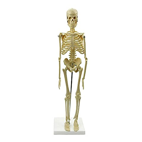 Anatomical Skeleton Human Model Stand Poster Medical Learn Aid Anatomy UK