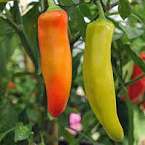 HATCHMATIC 200 Samen: USA LER Fuer Kugel Rote Bete 50-1000 Samen Heirloom Non-GMO