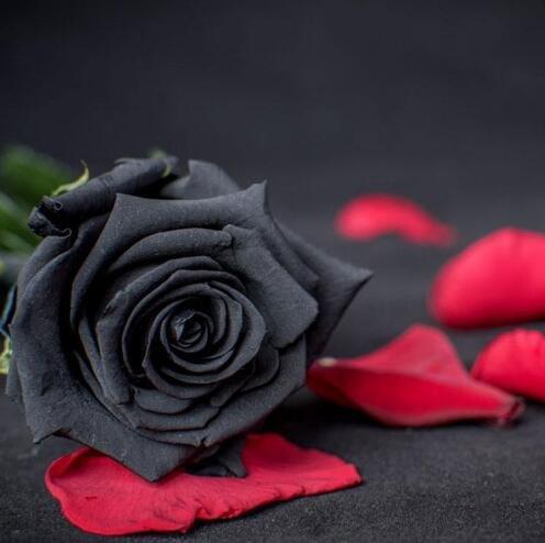 50 Graines Rose Noire - avec bord rouge, couleur rare, jardin de fleurs populaires Graines vivaces Bush ou Bonsai Fleur 10