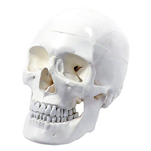 S24.2103 cranio umano, modello per lezioni di anatomia
